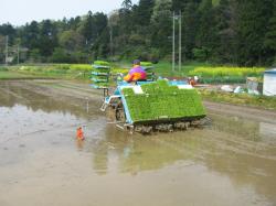 米から作る酒造り 田植えの様子